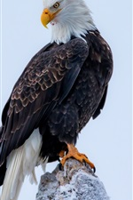 Preview iPhone wallpaper Bald eagle close-up