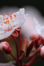 Cherry flowers spring