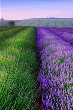 Preview iPhone wallpaper England summer lavender fields, house, dusk