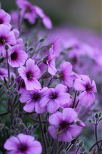 Geranium purple flowers