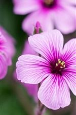 Preview iPhone wallpaper Geraniums, purple petals close-up