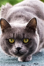 Preview iPhone wallpaper Gray cat ready to attack