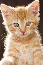 Preview iPhone wallpaper Kitten look, blurred background
