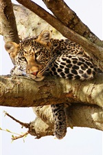 Preview iPhone wallpaper Leopard have a rest in the tree
