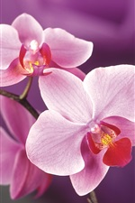 Preview iPhone wallpaper Pink orchid flowers