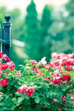 Preview iPhone wallpaper Red rose flowers, iron fence