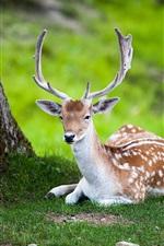 Preview iPhone wallpaper Summer nature deer