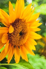 Preview iPhone wallpaper Sunflower, yellow flowers, green blurred background