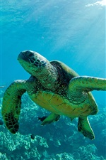 Preview iPhone wallpaper Two Green Sea Turtles, underwater, coral reef, Maui