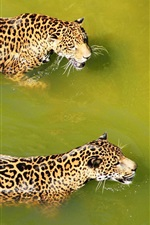 Preview iPhone wallpaper Two jaguar swimming in water