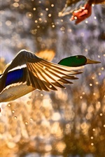 Wild duck flying, water splashing