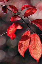 Preview iPhone wallpaper Autumn red leaves, twig, sunlight