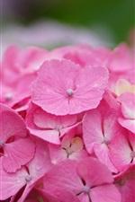 Beautiful pink hydrangea flowers