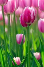 Beautiful pink tulip flowers in the morning