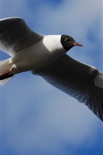Black-headed gull, wings flap, blue sky