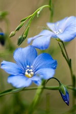 Blue wildflowers close-up