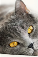 Preview iPhone wallpaper British gray cat, yellow eyes