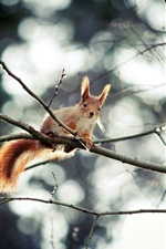 Preview iPhone wallpaper Cute squirrel, high tree, twig
