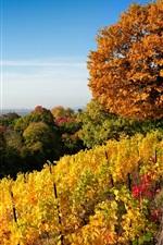 iPhone обои Дрезден осень, природа, деревья, виноградник, желтые листья