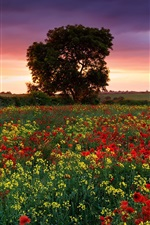 Preview iPhone wallpaper England summer evening, fields, poppies, rape, trees