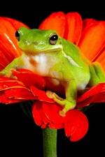 Frog, red flower, black background