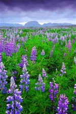 Preview iPhone wallpaper Iceland, lavender fields, purple flowers, mountains, sky, clouds, summer