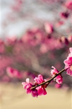 Japan, park, pink flowers plum