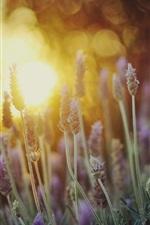 Preview iPhone wallpaper Lavender flowers close-up, sunlight, bokeh