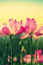 Preview iPhone wallpaper Pink lotus, flowers at sunset