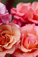 Pink rose flowers macro photography