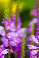 iPhone обои Фиолетовые цветы живокости, много бутонов
