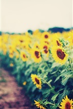 Preview iPhone wallpaper Sunflowers garden