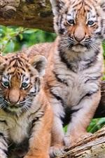 Filhotes de tigre close-up