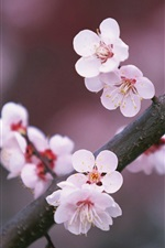 Preview iPhone wallpaper A tree branch cherry flowers blooming