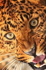 Animal of leopard, face, eyes, fangs