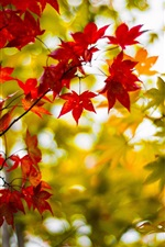 Preview iPhone wallpaper Autumn maple leaves, yellow, red, branches, blur