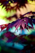Autumn purple maple leaves, bokeh