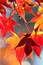 Preview iPhone wallpaper Autumn red leaves, nature scenery