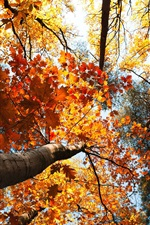 Forest autumn, trees, yellow leaves, sky, view to top