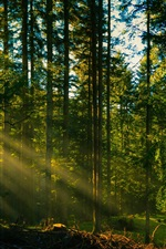 Preview iPhone wallpaper Forest trees, sun rays