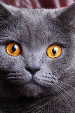 Preview iPhone wallpaper Gray cat at home, yellow eyes, face close-up