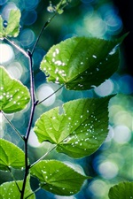 Green nature, branch, leaves, bokeh