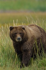 Preview iPhone wallpaper Grizzly bear in the grass
