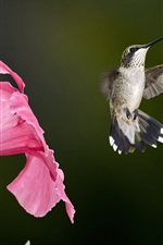 Preview iPhone wallpaper Hummingbird flying, pink flowers