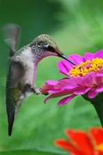 Preview iPhone wallpaper Hummingbird, pink flower, nectar