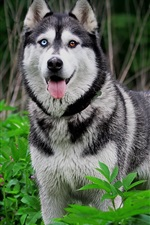 Preview iPhone wallpaper Husky dog, nature, animals