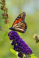 Preview iPhone wallpaper Nature summer, butterfly, purple flowers