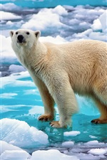 Preview iPhone wallpaper Norway, ice, snow, polar bear