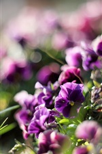 Preview iPhone wallpaper Spring pansies, purple flowers, glare, blur, light rays