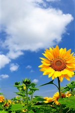 Summer sunflowers, clouds, blue sky